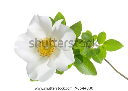 Cherokee Rose flower isolated on white - stock photo