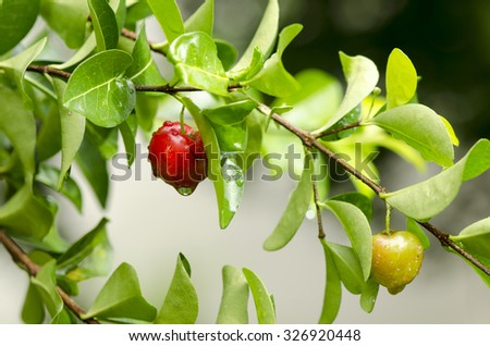 Cherries fruit on tree.