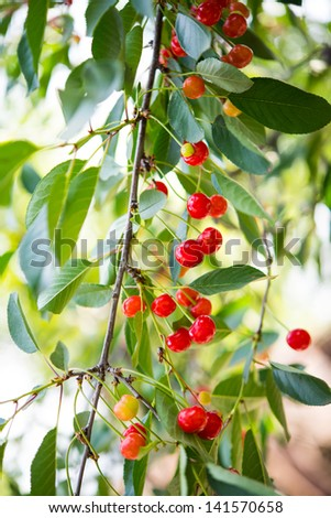 cherries growing on tree - stock photo