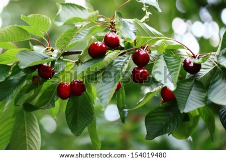 Cherry tree stock images royalty free images vectors shutterstock - Romanian cherry tree varieties ...