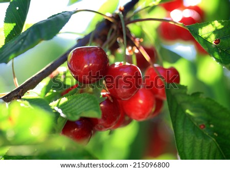 Cherries hanging on a cherry tree branch - stock photo
