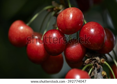 Cherries in the evening light, selective focus