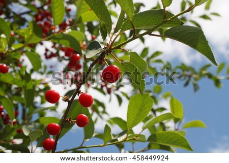 Cherries on a branch against the sky