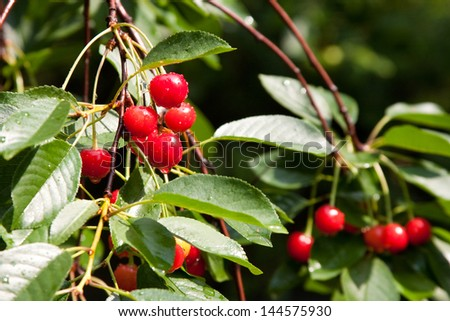 Cherries on the branch after the rain - stock photo