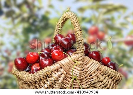 Cherry basket with ripe sweet cherries - stock photo