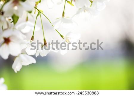 cherry bloom in spring - stock photo