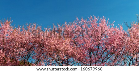 cherry blossom and blue sky background - stock photo