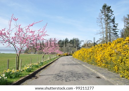 Cherry blossom and daffodils in early spring