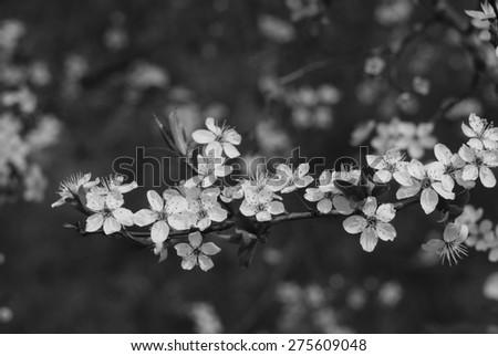 Cherry blossom, black and white. - stock photo