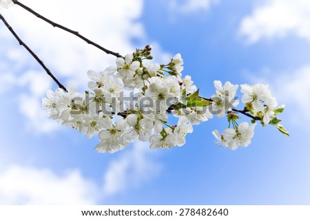 Cherry blossom, cherry tree, bud, shallow depth of field. - stock photo