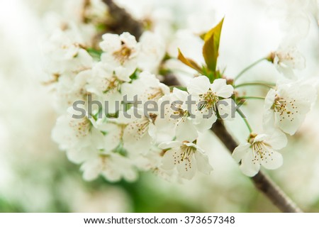 Cherry blossom, cherry tree, cherry flowers