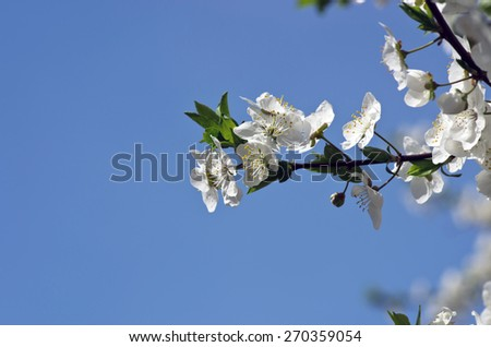 Cherry blossom closeup over natural background  - stock photo