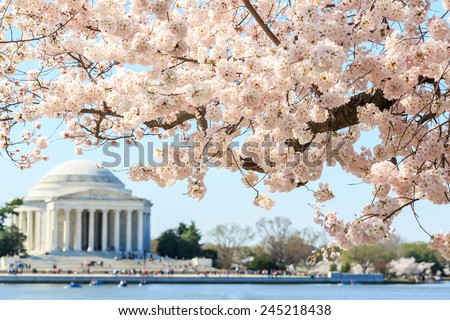 Cherry blossom festival at Thomas Jefferson Memorial in Washington DC, United States - stock photo