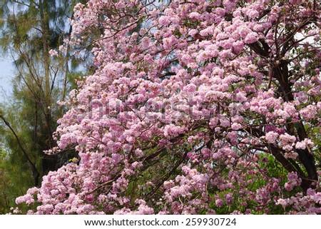 Cherry Blossom Flowers at Springtime - stock photo