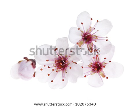 Cherry blossom flowers close up isolated on white background - stock photo