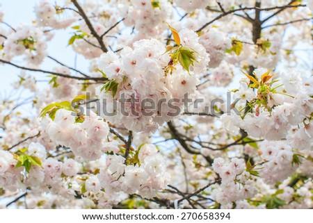 Cherry blossom flowers in garden at Japan Mint, Osaka, Japan - stock photo