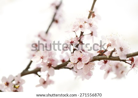 cherry blossom growing on a branch with a shallow depth of field.