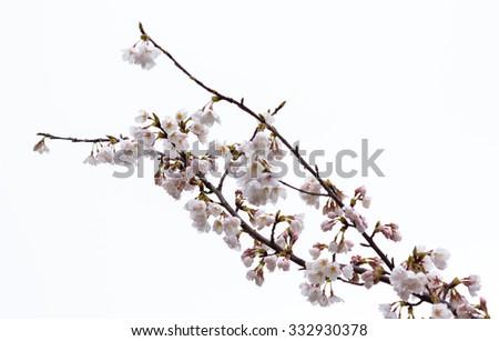 Cherry blossom in a rainy day. - stock photo