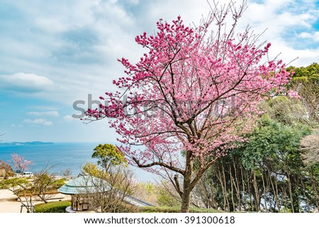 Cherry blossom in Atami, Shizuoka, Japan. It is located about 100 km southwest of Tokyo. - stock photo