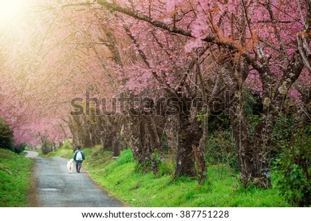 Cherry Blossom in Chiang Mai Thailand - stock photo