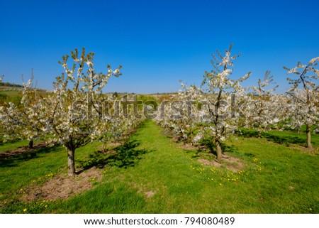 Cherry Blossom Frauenstein Germany Stock Photo (Edit Now) 794080489 ...