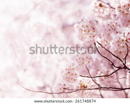 Cherry blossom in full bloom. cherry flowers in small clusters on a cherry tree branch. - stock photo