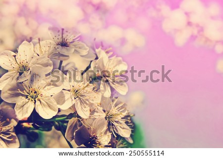Cherry blossom in full bloom. Pretty spring background with retro vintage instagram filter.  - stock photo