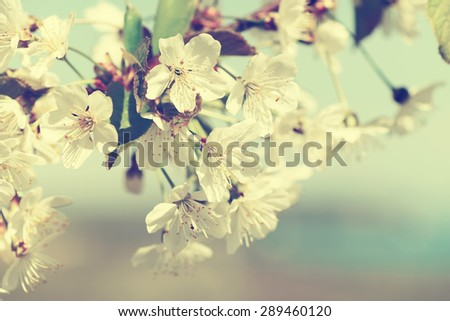 Cherry blossom in full bloom.Special toned photo in retro style - stock photo