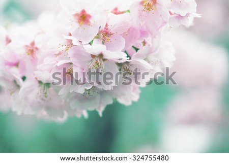 Cherry blossom in muted dreamy tone. Intentionally shot in retro tone. Shallow depth of field. - stock photo