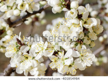 Cherry blossom in spring in bright sunlight day - stock photo