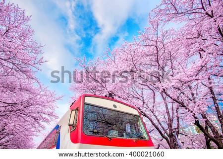 Cherry blossom in spring. Jinhae Gunhangje Festival is the largest cherry blossom festival in South Korea. - stock photo