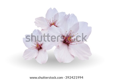 Cherry blossom in spring, sakura flowers isolated on white background. - stock photo