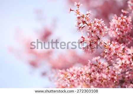 cherry blossom in spring time, sakura - stock photo