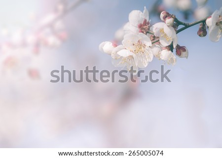 Cherry blossom in spring with soft focus, background - stock photo