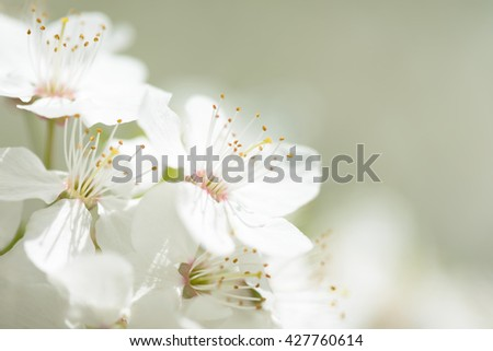 Cherry Blossom in Springtime. Beautiful White Flowers