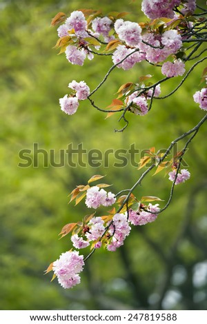 cherry blossom in the garden - stock photo