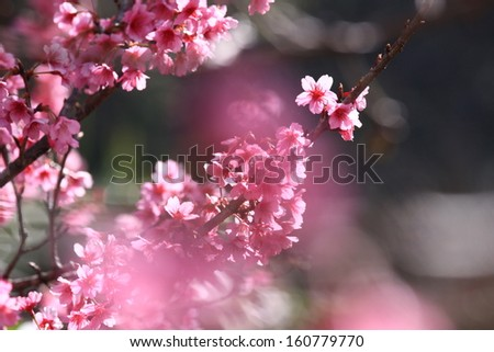 Cherry blossom in the park, closeup and shallow DOF - stock photo
