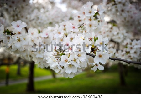 Cherry blossom in Washington DC - stock photo
