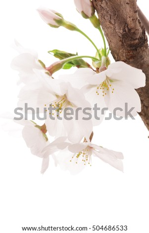 Cherry blossom isolated on white background