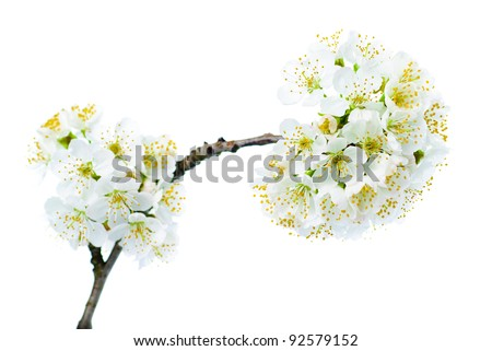 cherry blossom isolated on white background. macro