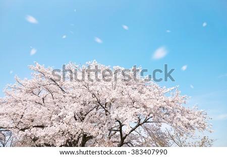 cherry blossom, Japanese spring scenics - stock photo