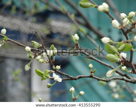 Cherry blossom - macro. Wondering russian garden. - stock photo