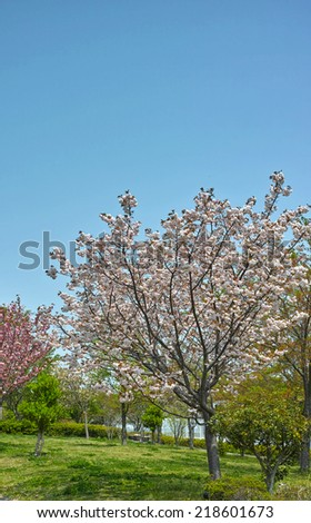Cherry blossom of isolated Sakura tree on a cheerful day with bright clear sky, photographed in Tokyo.