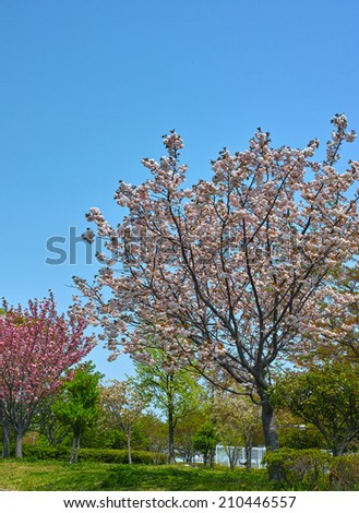 Cherry blossom on clear blue sky background