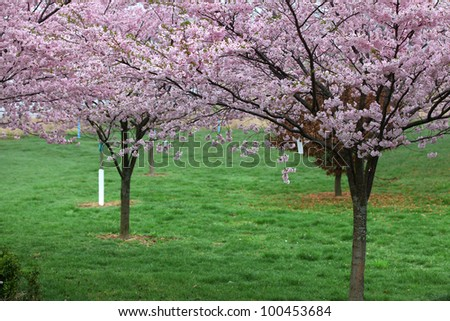 Cherry blossom on trees during spring time