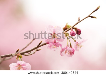 Cherry blossom or cherry flower in full bloom close-up. Thin delicate flower petals and pastel pink background.  - stock photo