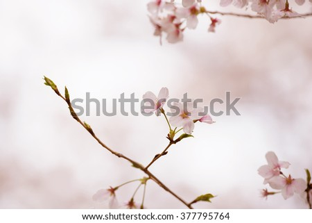 Cherry blossom or cherry flower in full bloom. Thin delicate flower petals and pastel pink background.  - stock photo