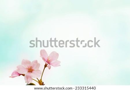 Cherry blossom or cherry flower with soft pastel blue background  - stock photo