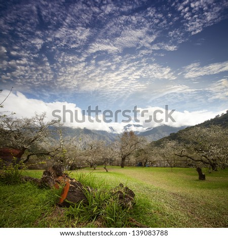 Cherry Blossom Path in a Tranquil Garden  - stock photo