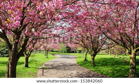 Cherry Blossom Path through a Beautiful Landscape Garden  - stock photo
